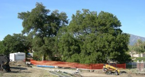 tree preservation under construction photo