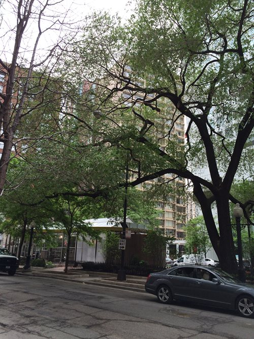 Trees in Downtown Chicago