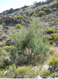 Salt cedar is one of the most dangerous invasive species in California. Photo courtesy of the National Park Service.