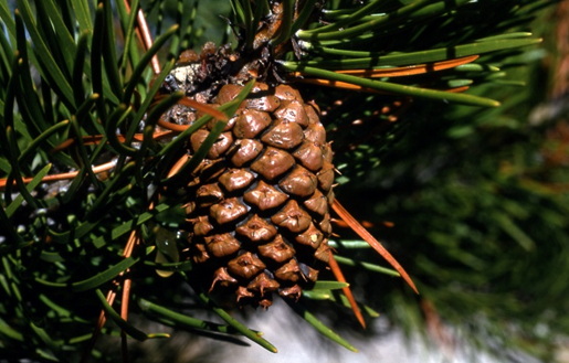 The heat-sensitive cones of a lodgepole pine tree. Photo from the National Park Service.