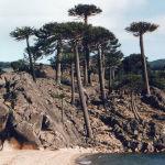 Araucaria araucana playa