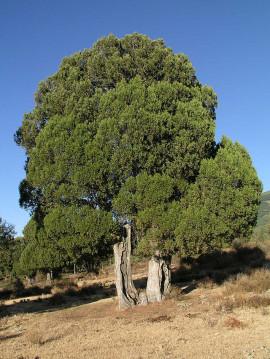 640px-Juniperus-thurifera-01