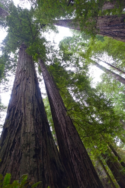 true redwoods