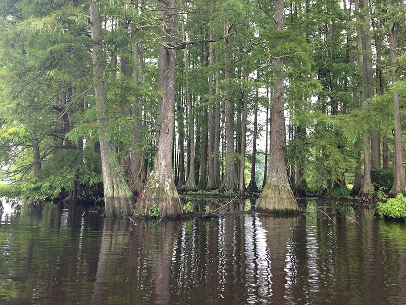 Bald Cypress Tree Pictures 53