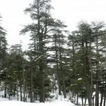 True Cedars