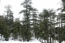 Bosque_de_cedros,_montes_del_Atlas,_Ifran