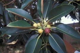 Starr Ficus macrophylla