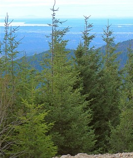 Pseudotsuga_menziesii_Tiger_Mountain_Seattle