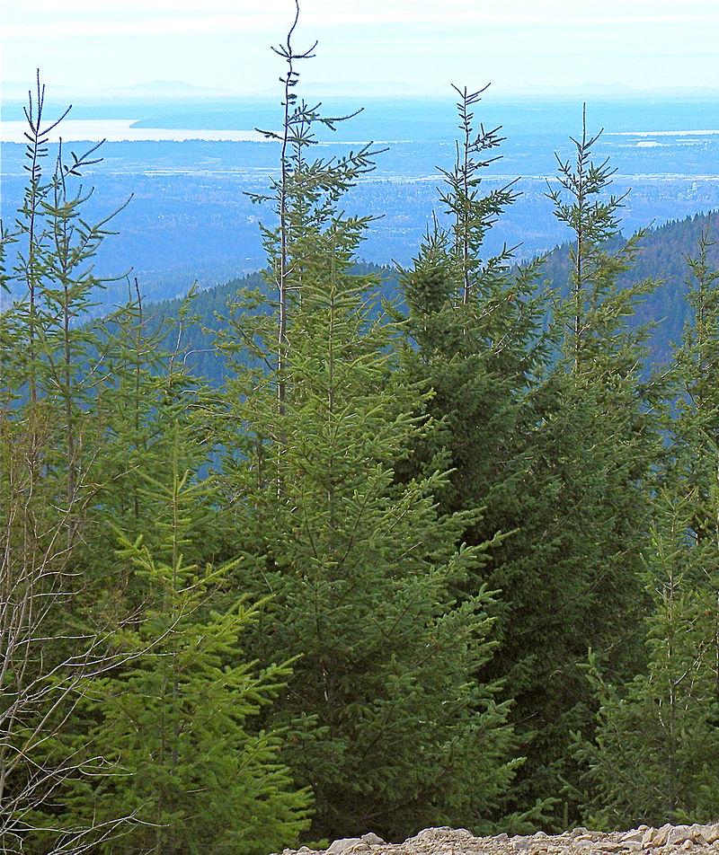 Pseudotsuga_menziesii_Tiger_Mountain_Seattle
