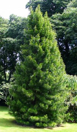 Japanese Umbrella Pines