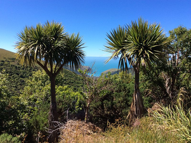 Cordyline_australis_Hinewai_New_Zealand