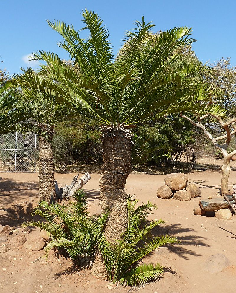 Encephalartos_altensteinii,_Waterberg