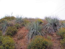 Nolina Plants